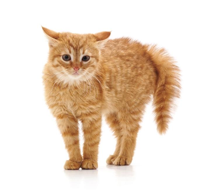 しっぽが膨らみ、怒っている猫