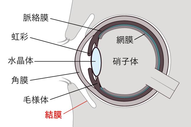 結膜の位置を示す画像