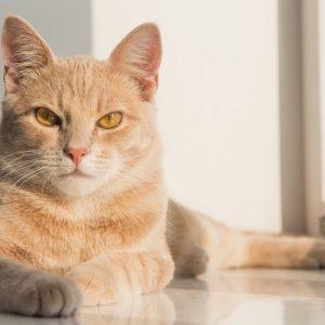 こちらを見つめる茶トラの猫