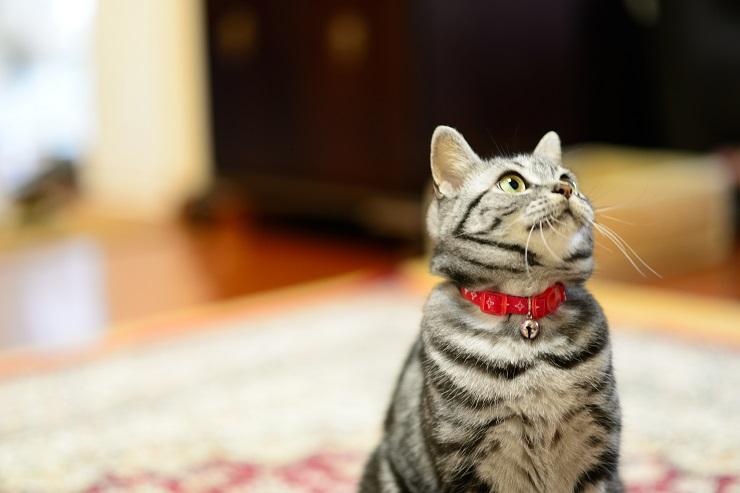 上目遣いに飼い主を見る猫