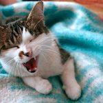 毛布に包まってあくびをする猫