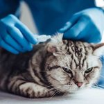 病院で耳を診察される猫