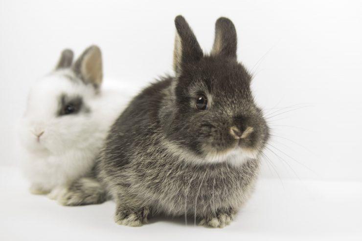二羽の子ウサギ