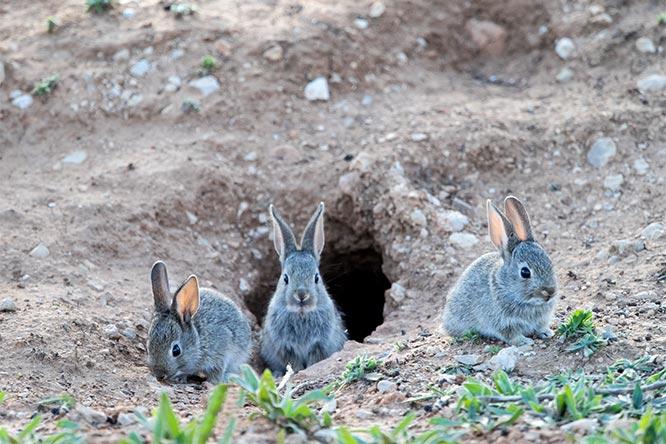 巣穴から出てきた3匹のうさぎ