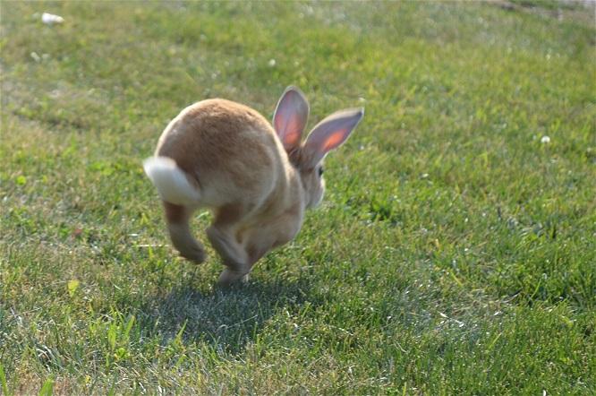 草原で走るうさぎ