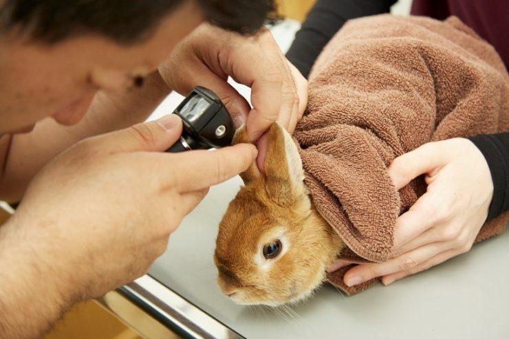 耳の検査をするうさぎ