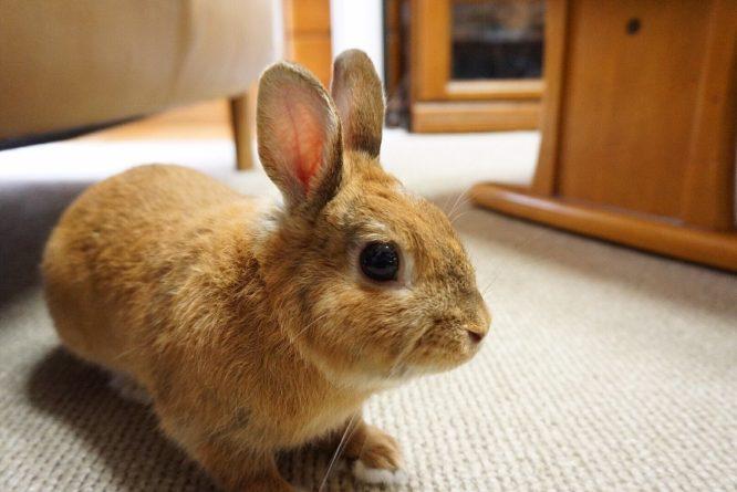 ウサギ 大きい 世界 一