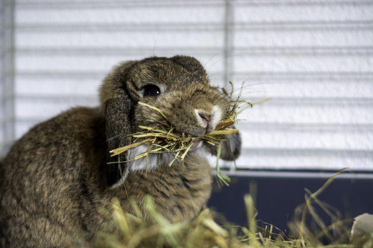 牧草を食べるうさぎ