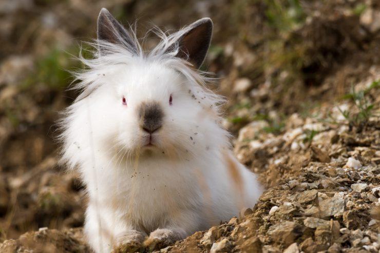 アンゴラウサギの画像