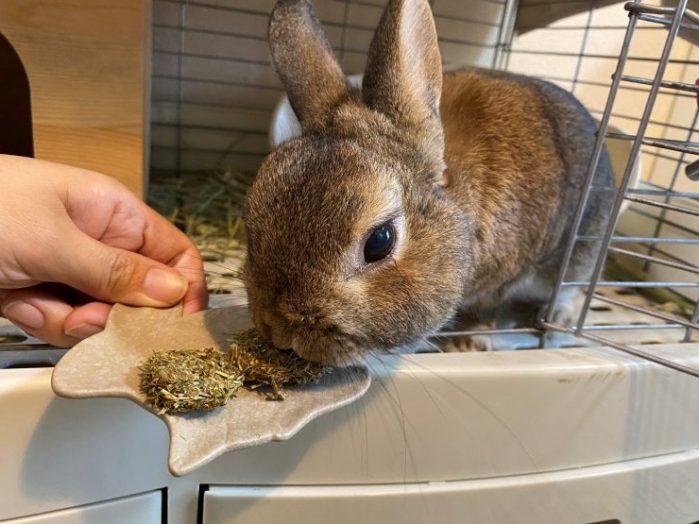 うさぎが牧草クッキーを食べる様子